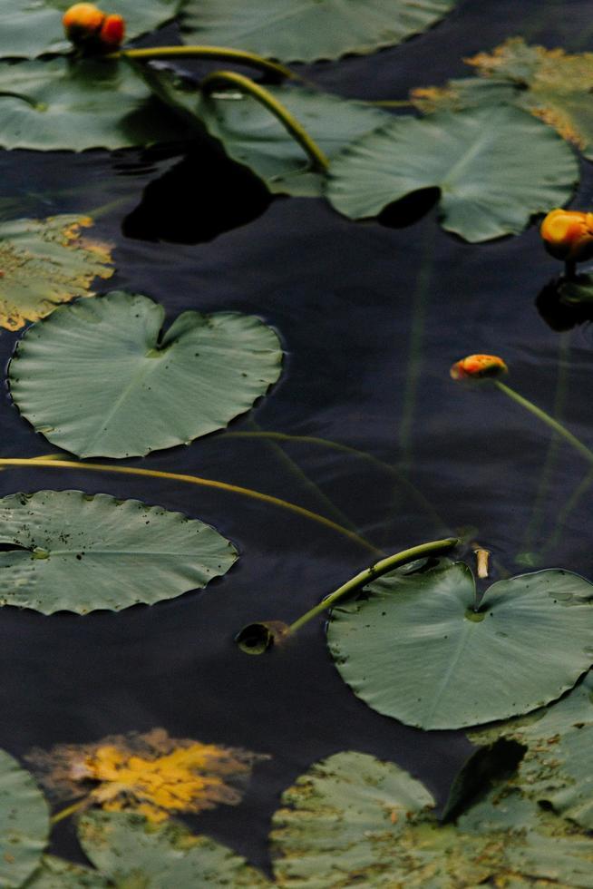 Nénuphar vert sur plan d'eau photo