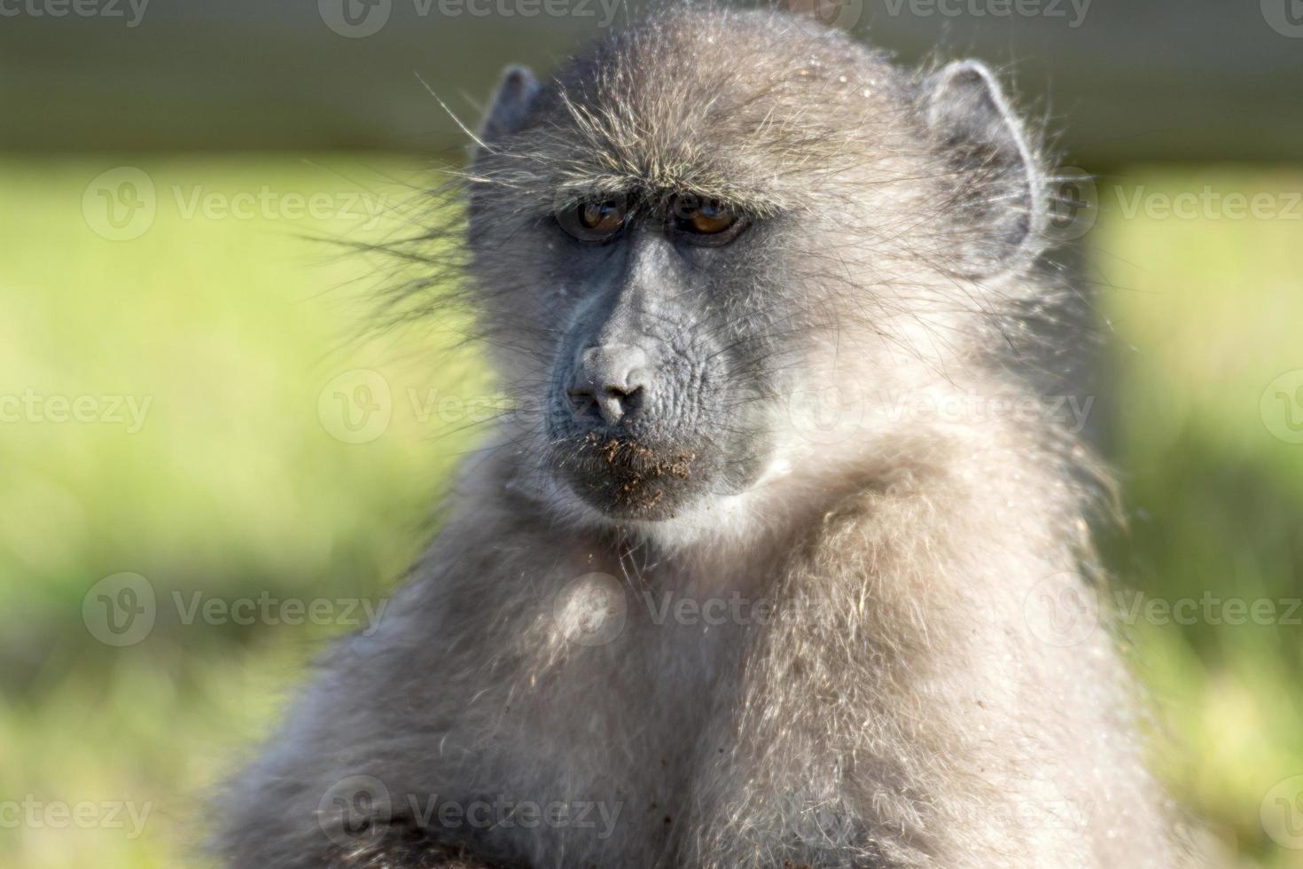 cape babboon alimentation photo