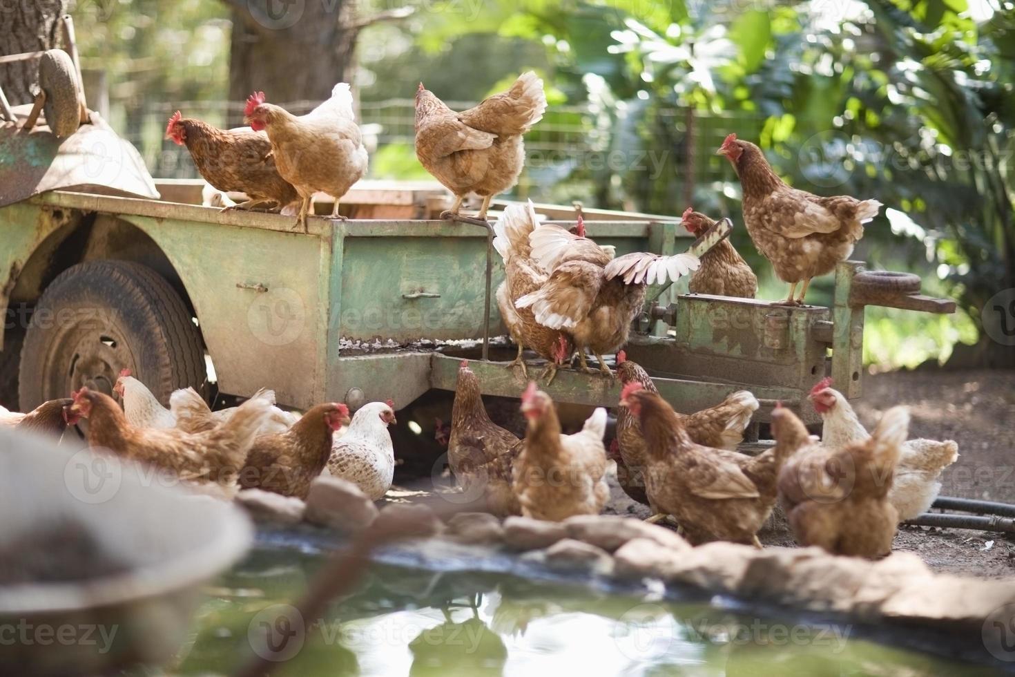poulets sur camion dans la basse-cour photo