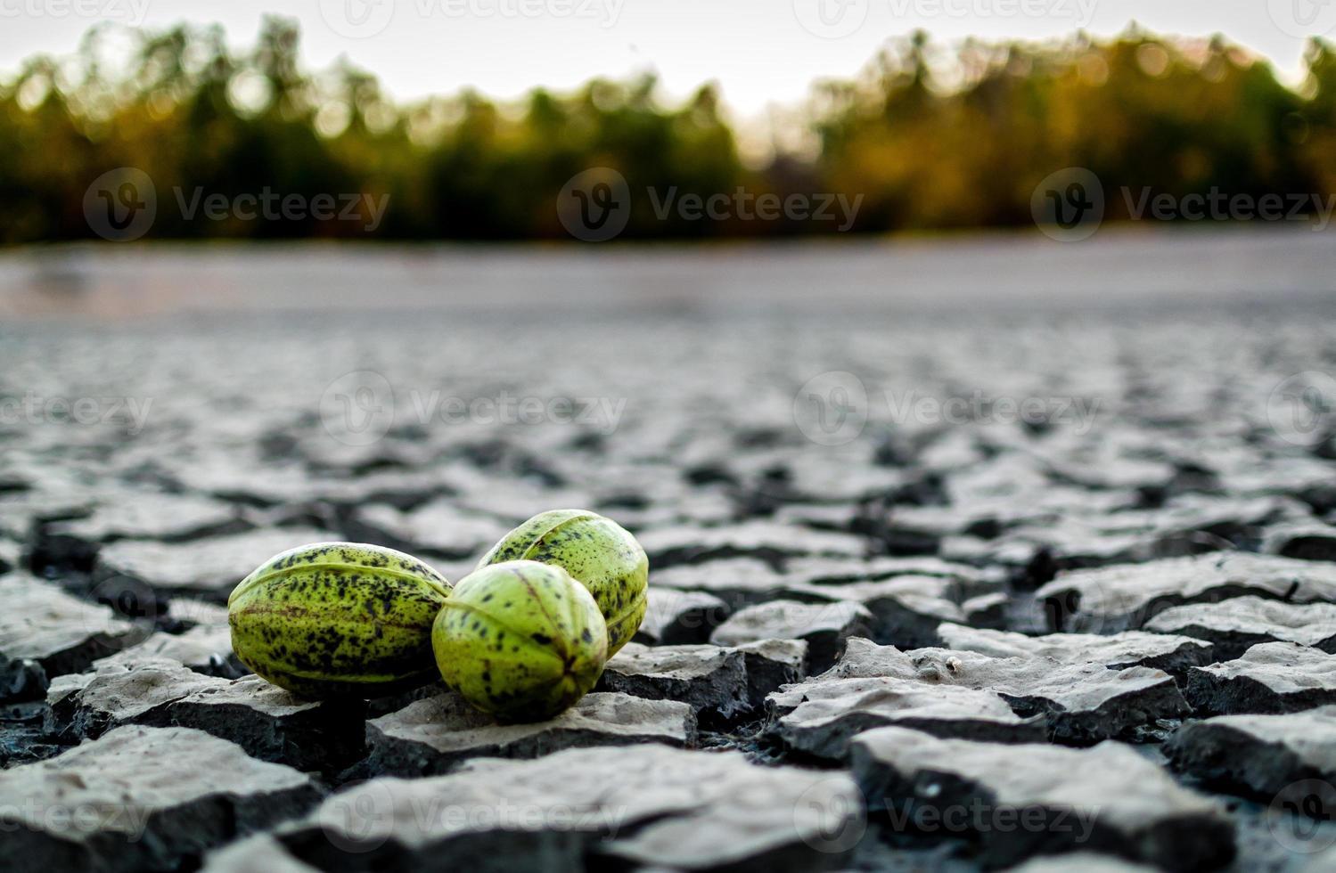 Trois noix de pécan vertes dans un barrage sec photo