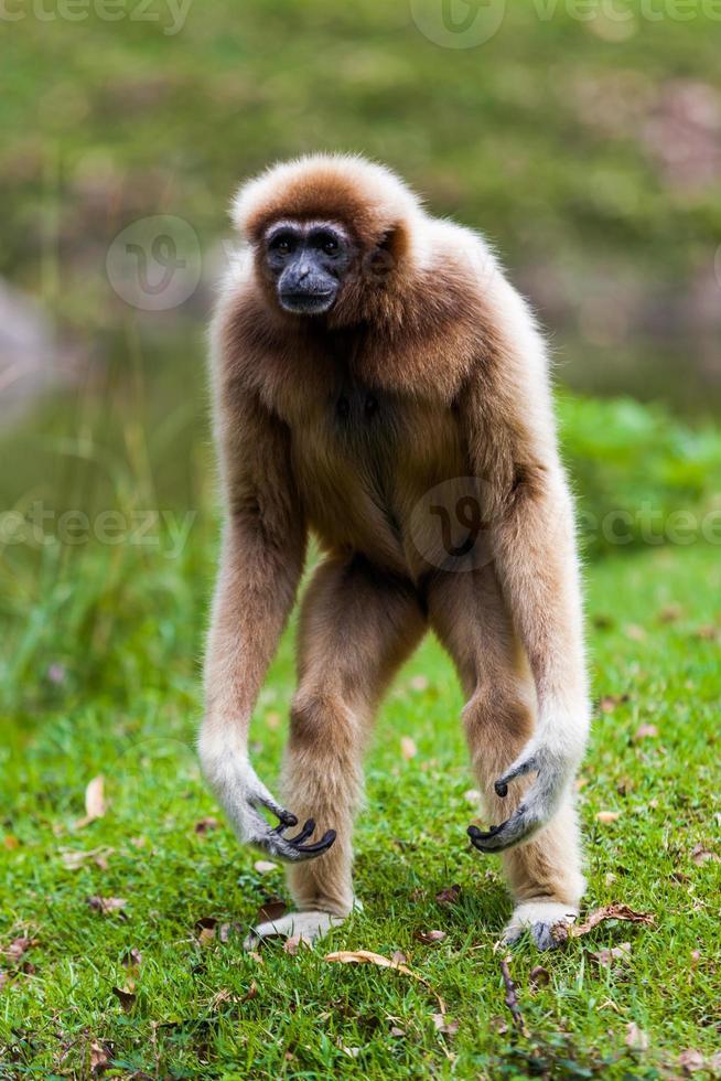 Gibbon à joues blanches photo
