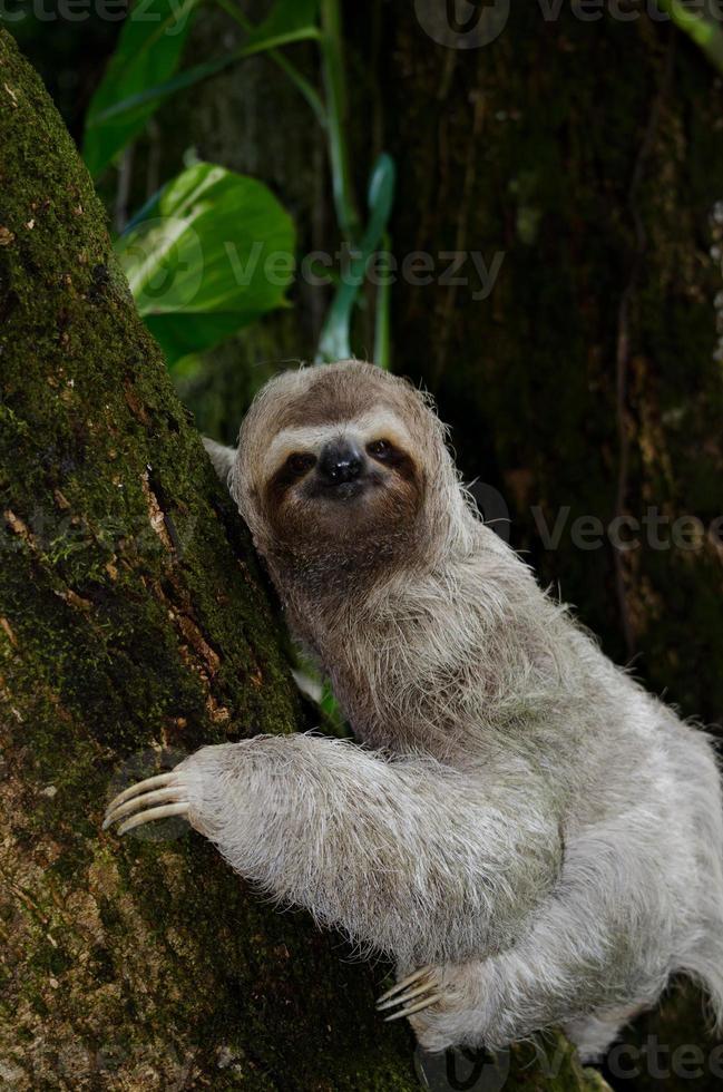 paresseux à trois doigts escaladant un manguier photo