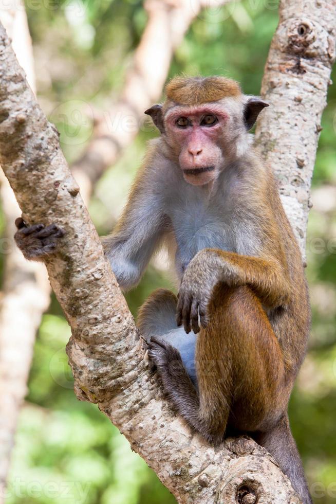 singe macaque toque photo