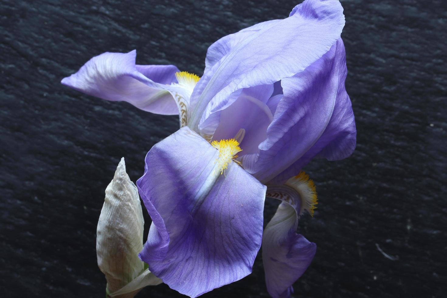 fleur et bourgeon d'iris photo