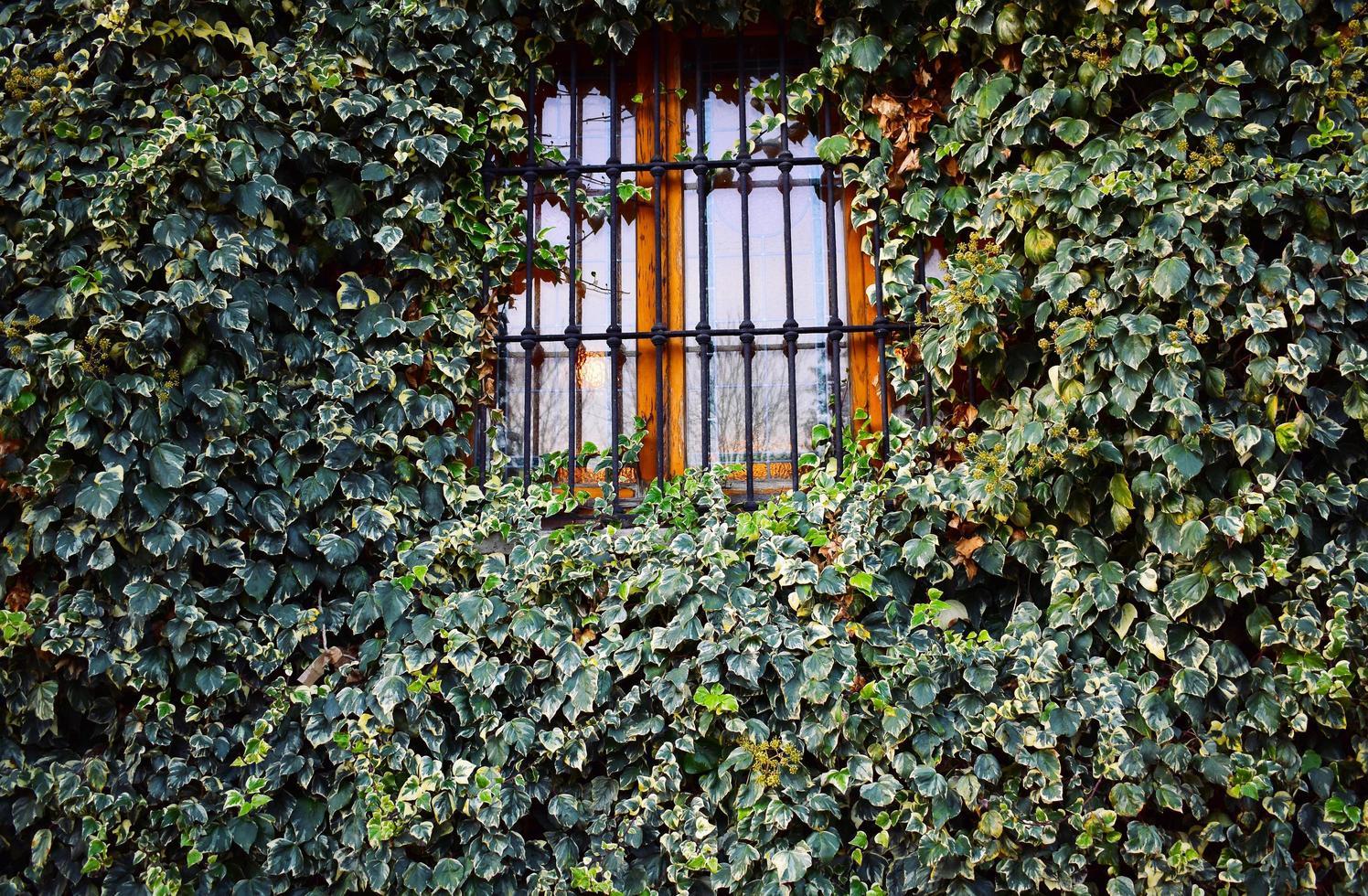 Fenêtre en fer fermée avec des plantes de lierre photo