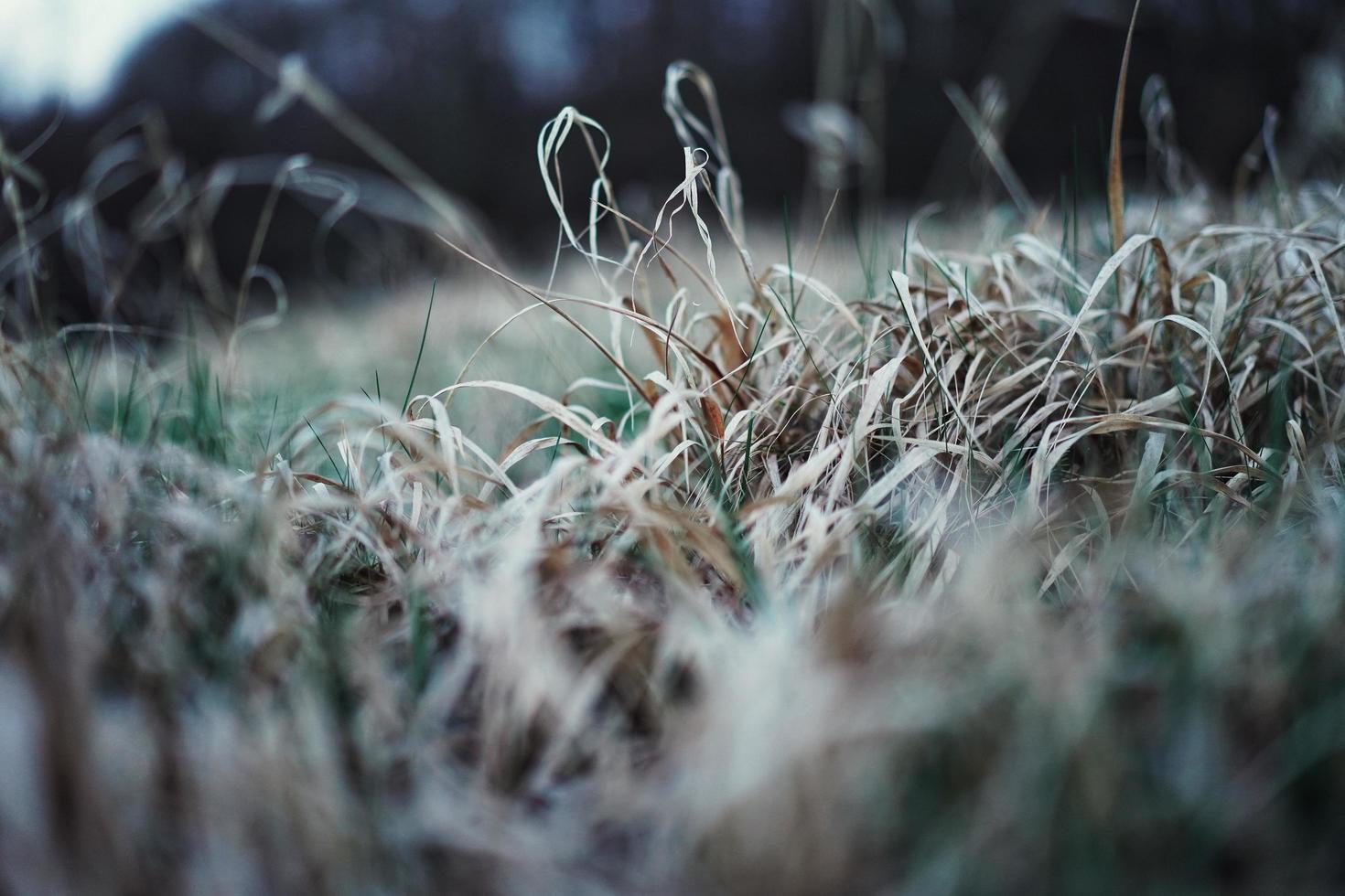 herbe brune haute photo