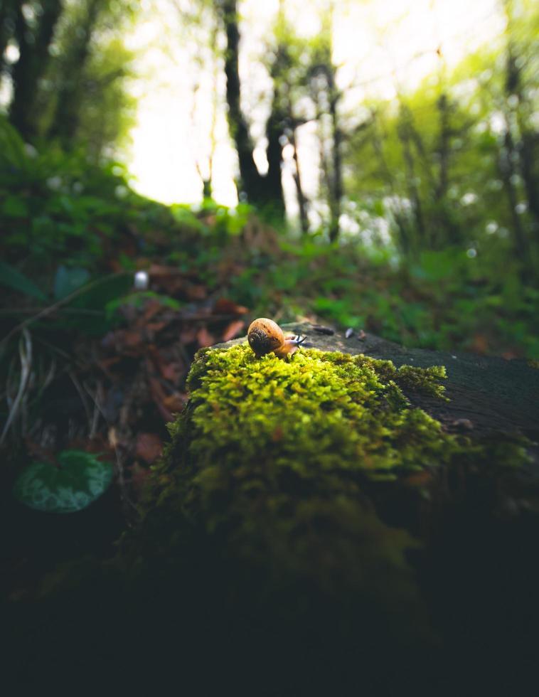 Escargot brun sur rocher couvert de mousse verte photo