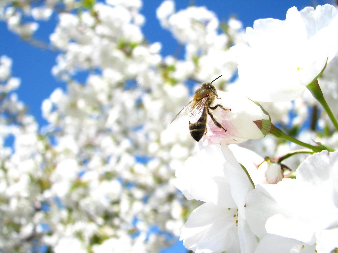 abeille sur fleur de cerisier photo