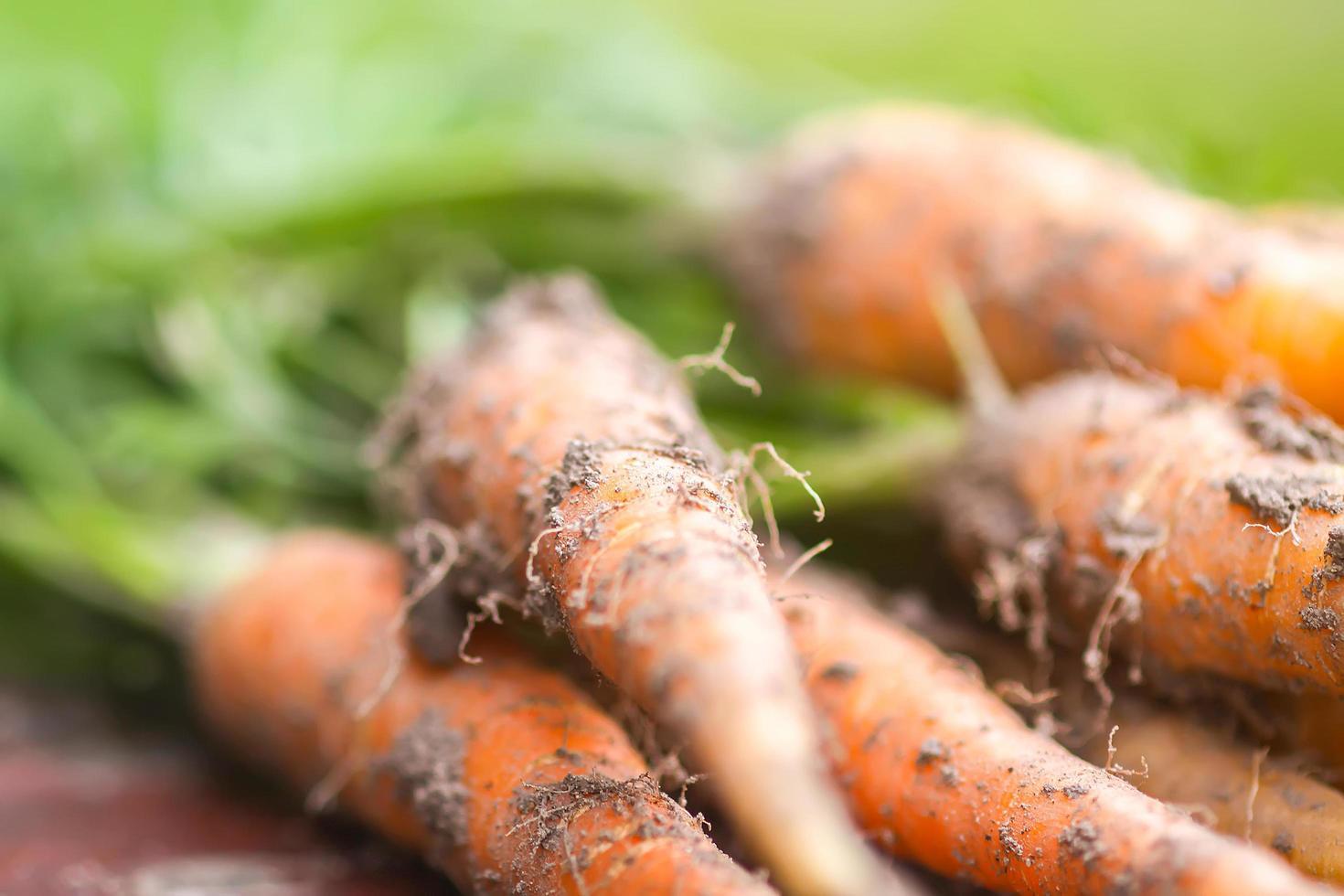 gros plan de carottes photo