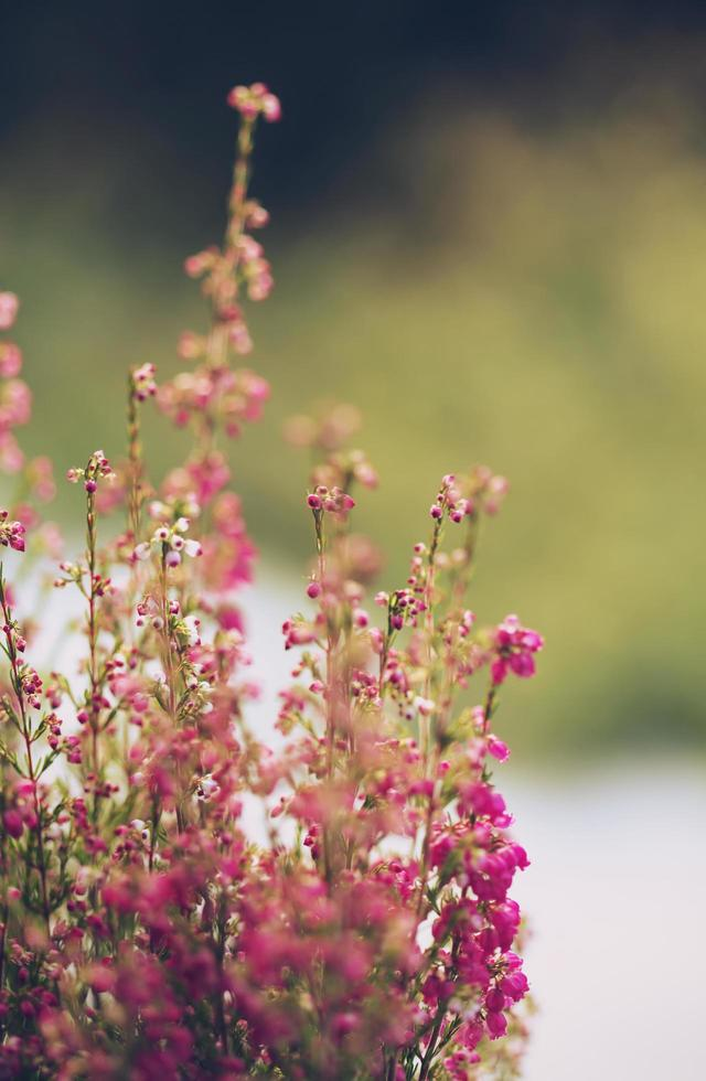 fleurs roses en gros plan photo