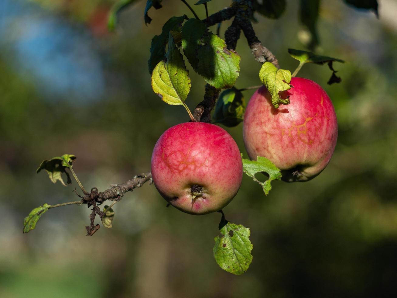 pommes sur un arbre photo