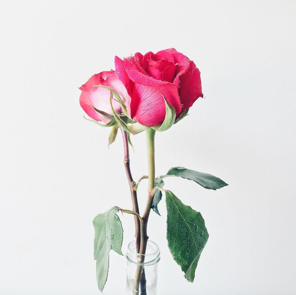 roses roses dans un vase photo
