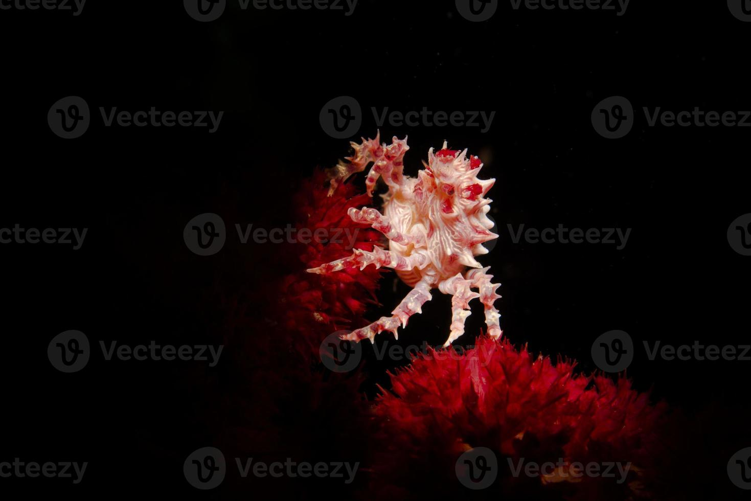 hoplophrys oatesi photo