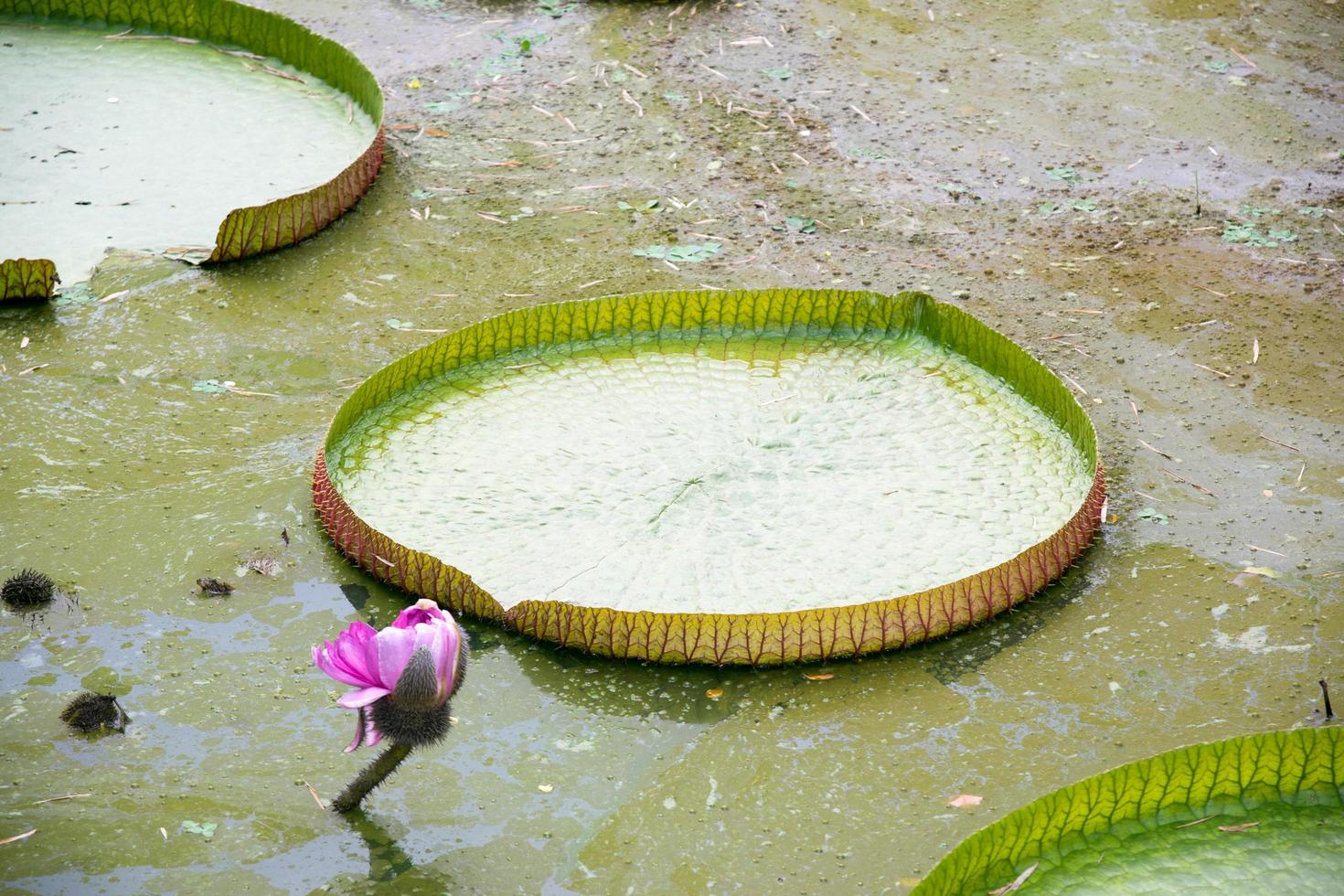 une grande feuille de lotus photo