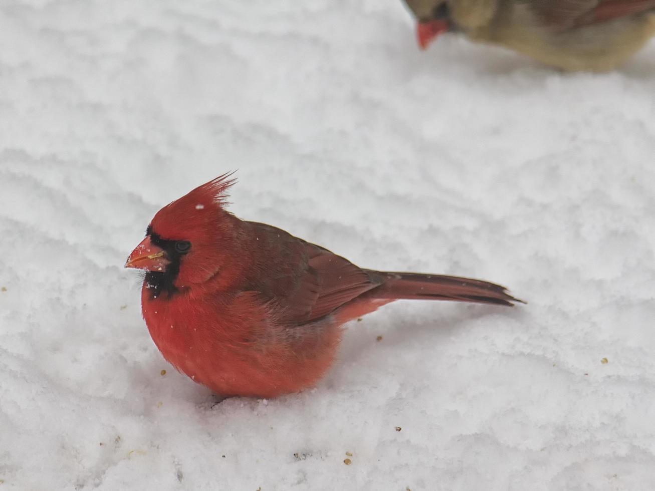 oiseau cardinal mâle dans la neige photo