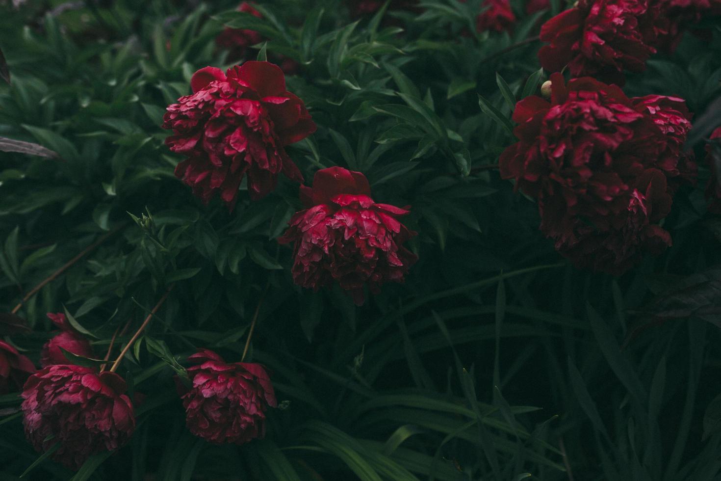 gros plan, de, fleurs rouges, à, feuilles vertes photo