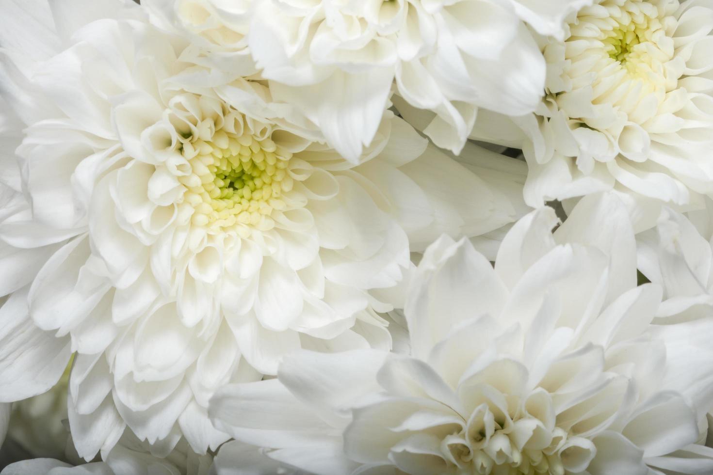 gros plan fleur blanche chrysanthème photo