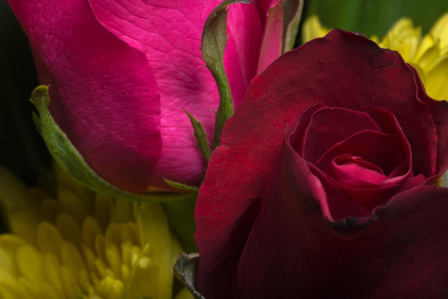 gros plan de belles roses rouges photo