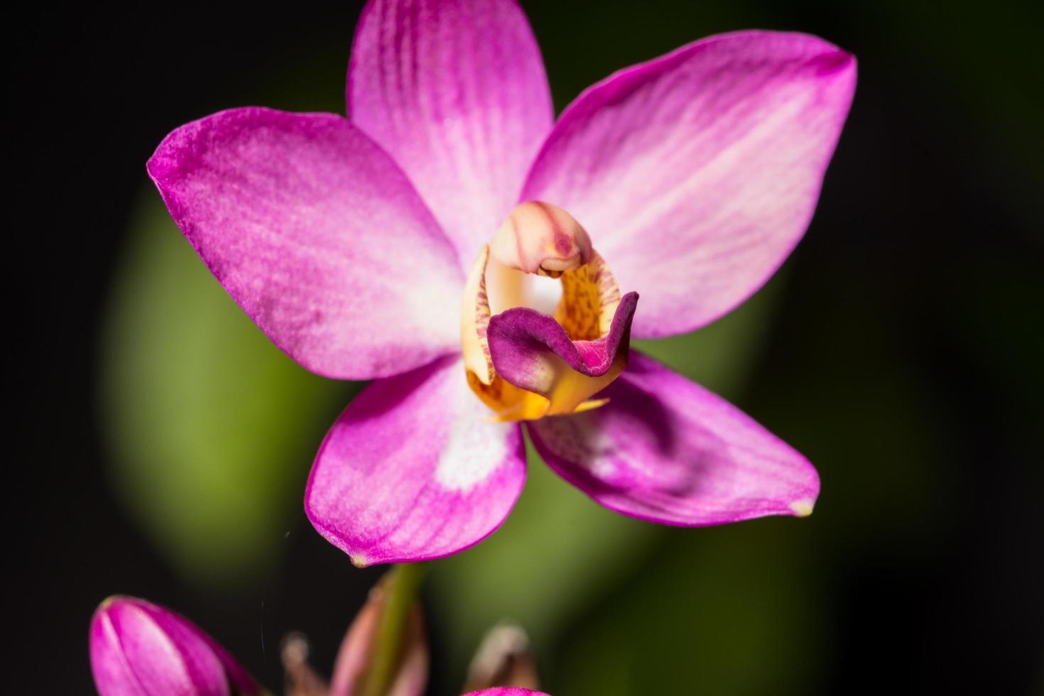 gros plan d'orchidée rose photo