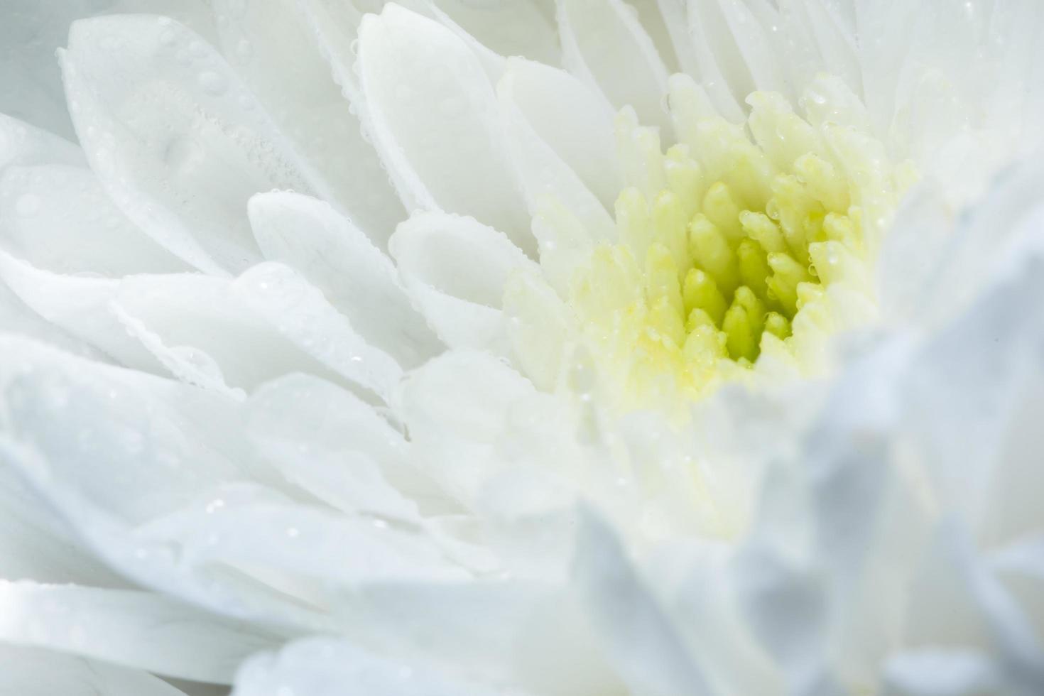 gros plan de fleur blanche chrysanthème. photo