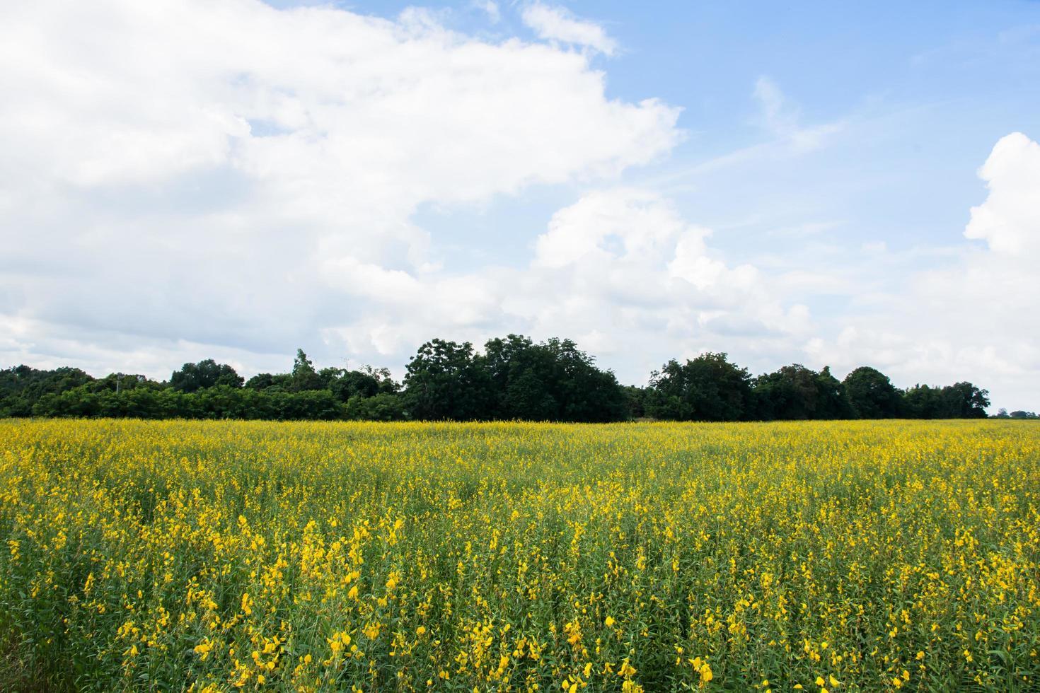 Crotalaria chachoengsao farm photo
