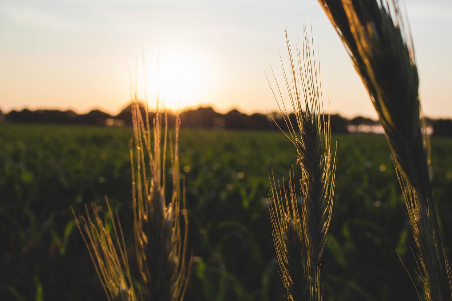 champ de blé au coucher du soleil photo