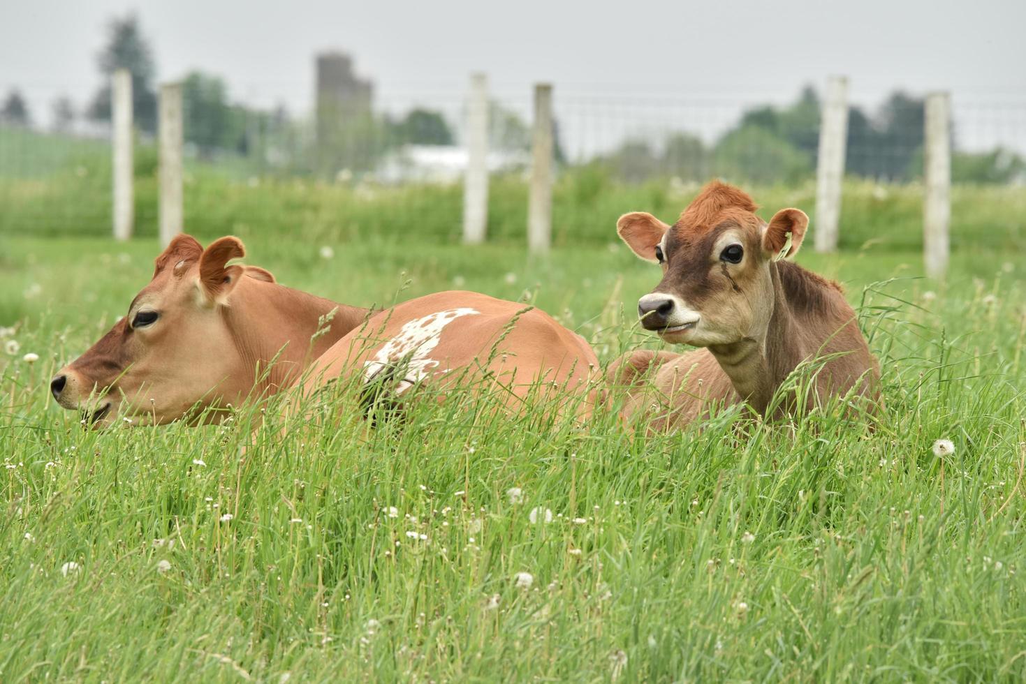Deux bovins bruns sur champ d'herbe verte pendant la journée photo
