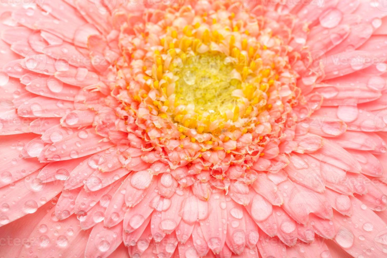 gerbera rose photo