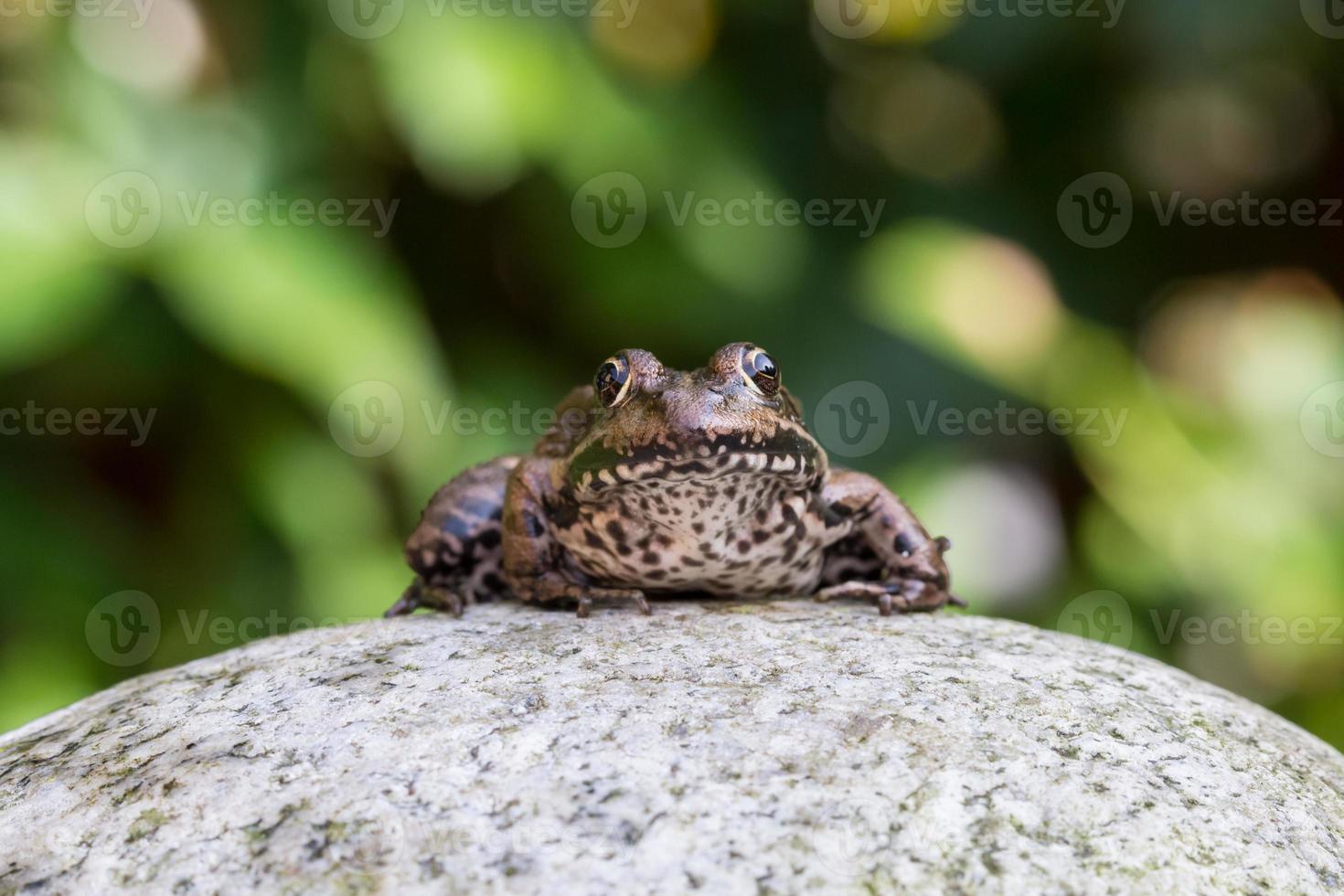 grenouille photo