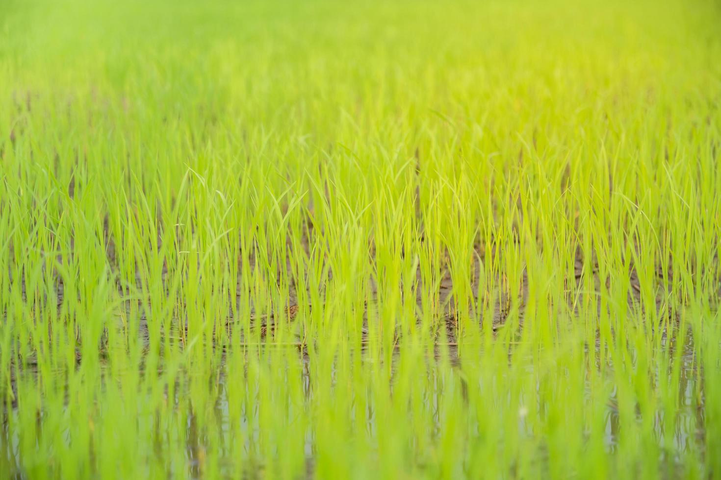 gros plan d'un riz déposé photo