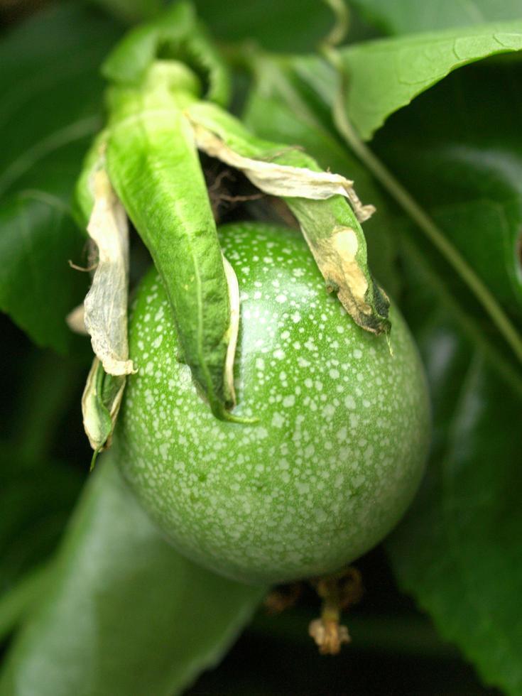 fleur de fruit de la passion verte photo