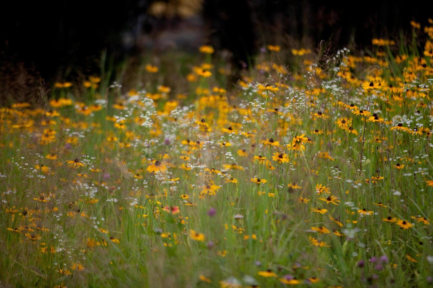 fleurs sauvages jaunes et blanches photo