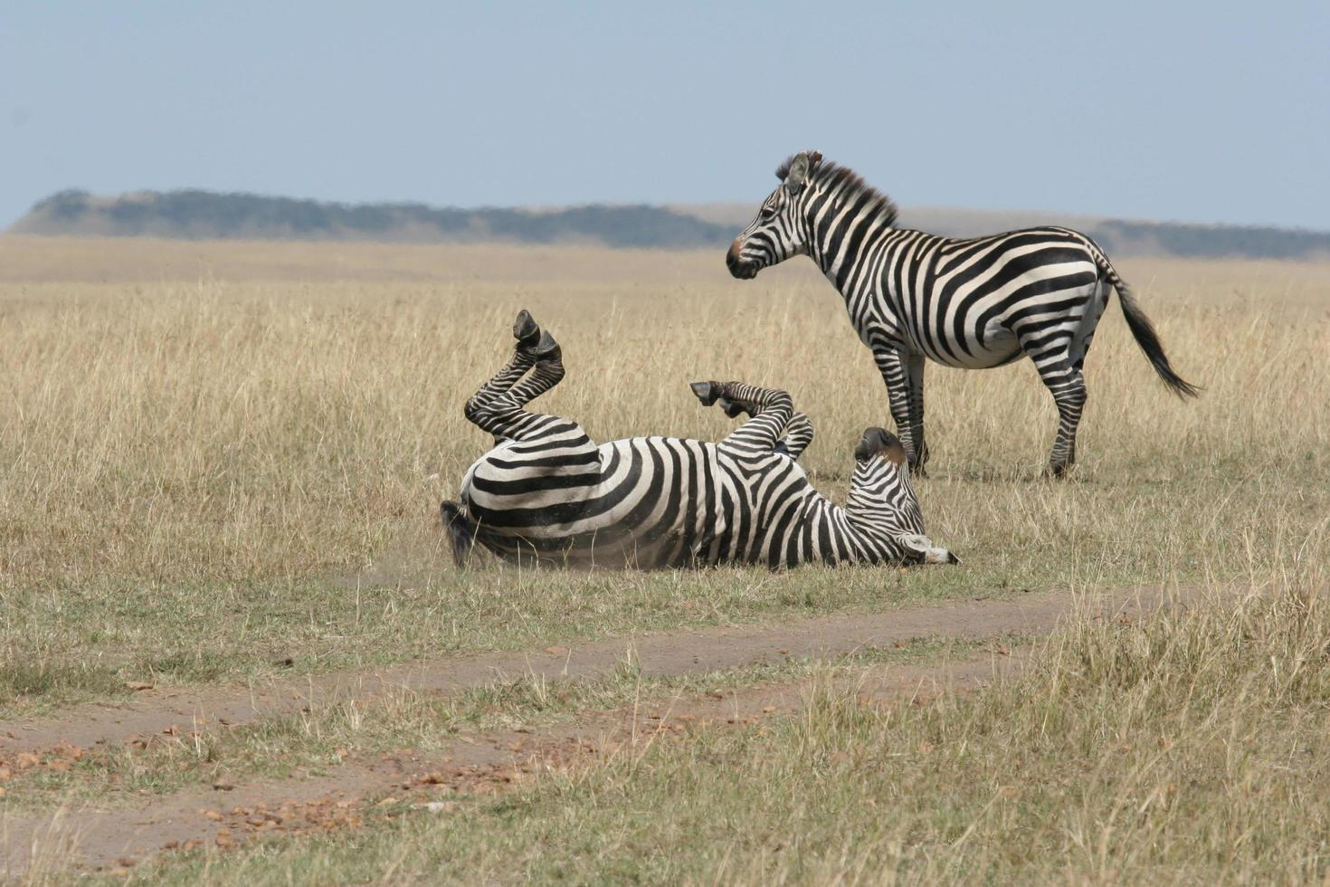 deux zèbres dans la faune photo