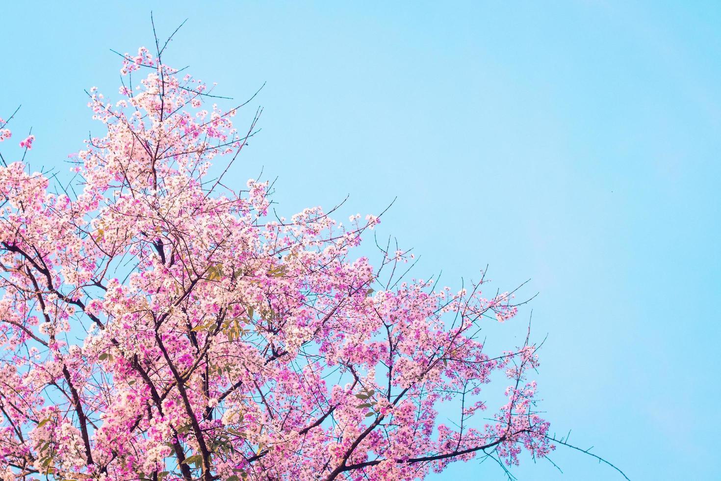 arbre de fleur de cerisier rose sur fond bleu photo