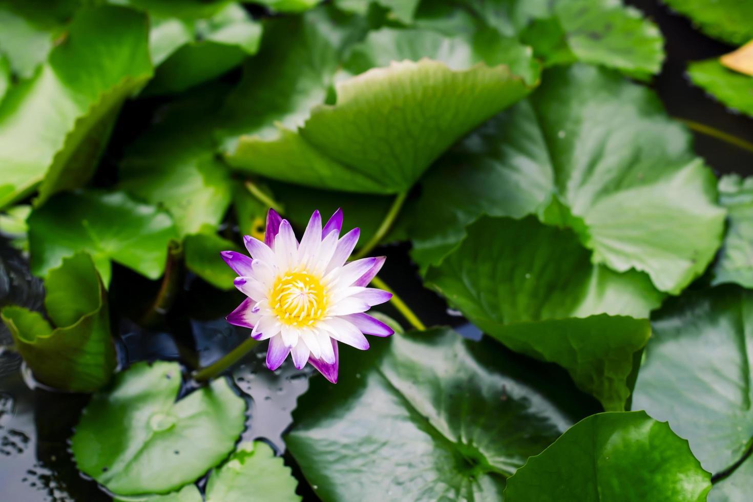beau nénuphar violet photo