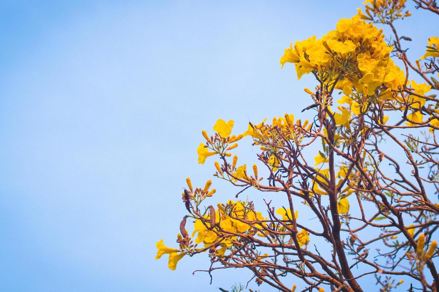 fleurs jaunes qui fleurissent au printemps photo