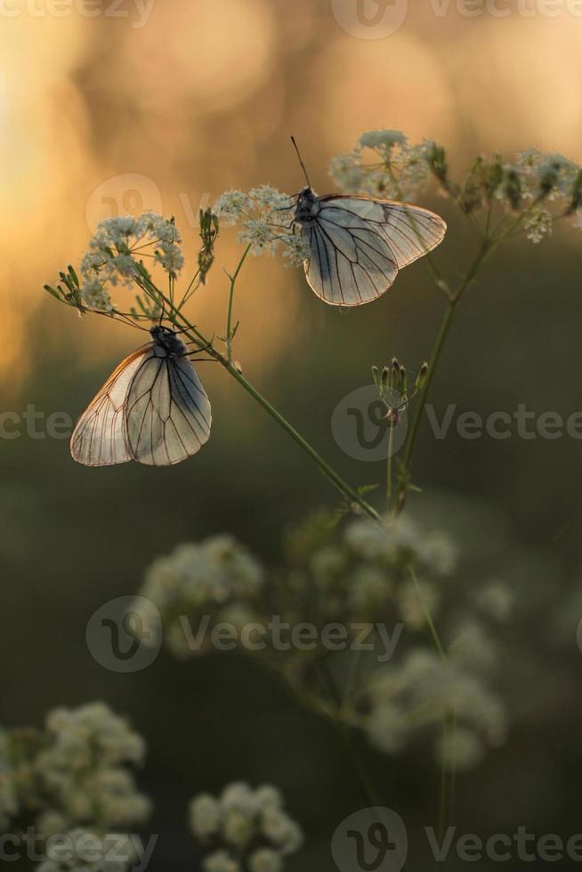 papillon blanc veiné de noir, aporia crataegi photo