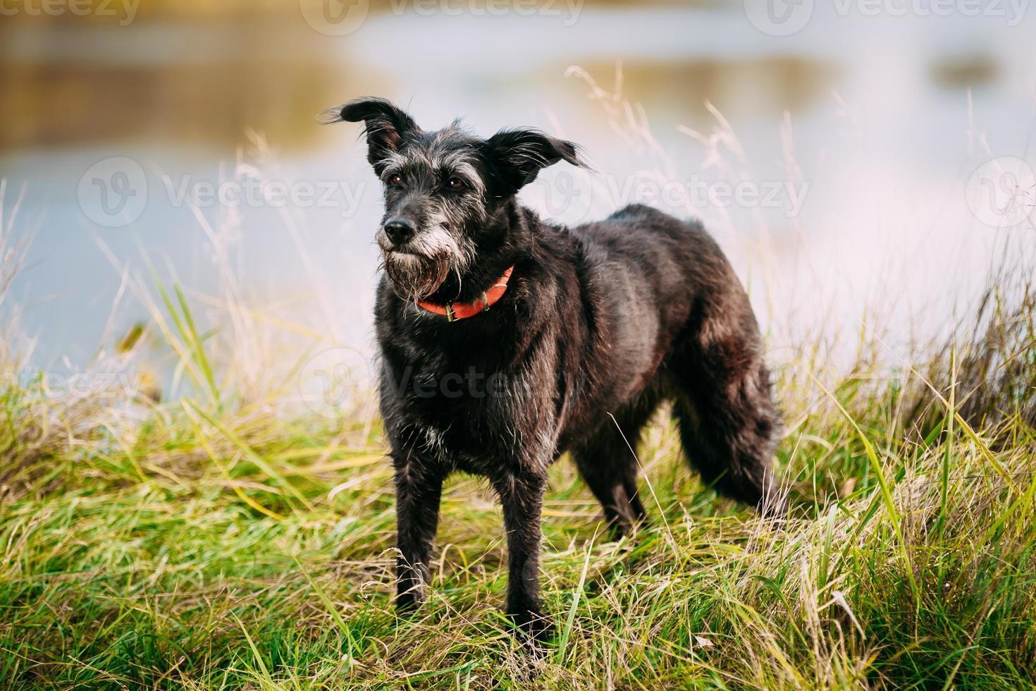 chien noir de petite taille dans l'herbe près de la rivière, lac. été photo