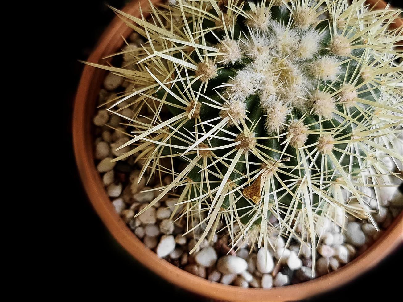 Cactus épineux en pot isolé sur fond noir avec mise au point sélective photo