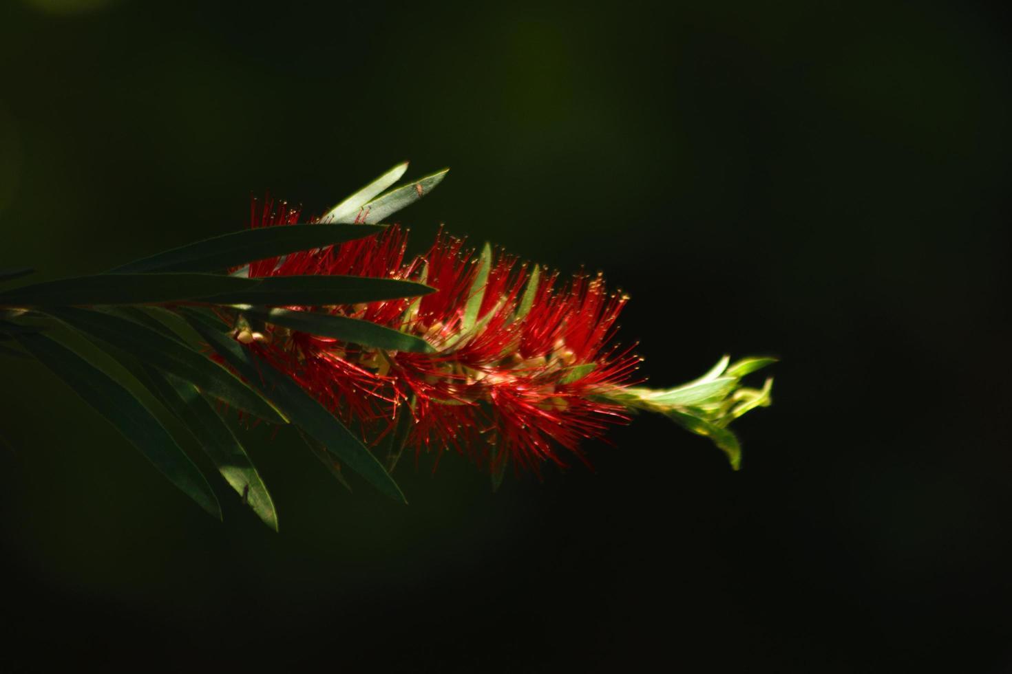 fleur rouge solitaire atteint la lumière photo