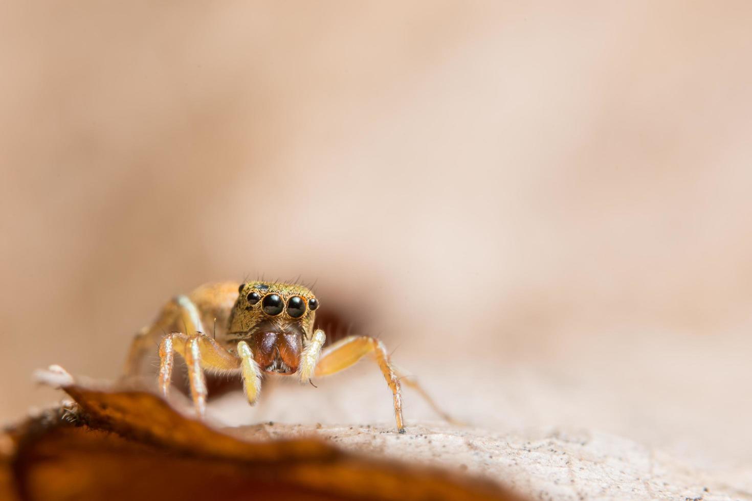 araignée sur une feuille, gros plan photo