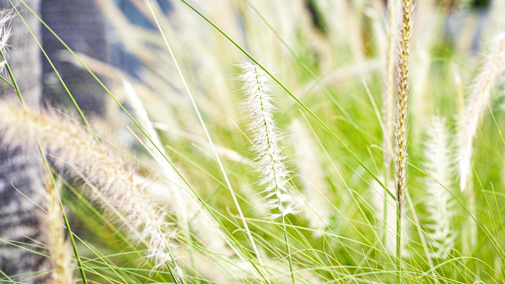 mise au point sélective de l'herbe sauvage photo