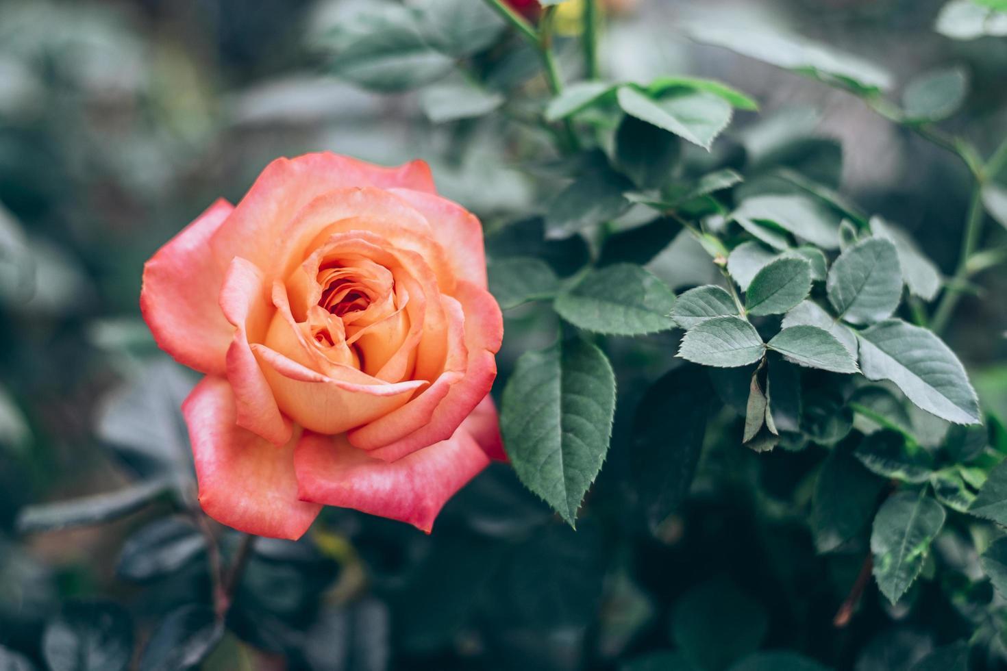 soft focus sélectif de roses roses dans le jardin photo