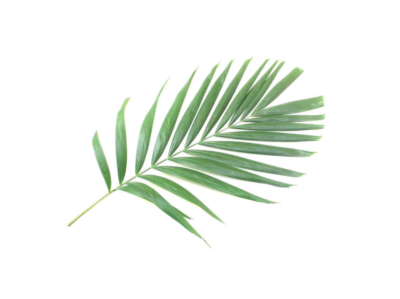 feuille de palmier vert isolé sur fond blanc photo