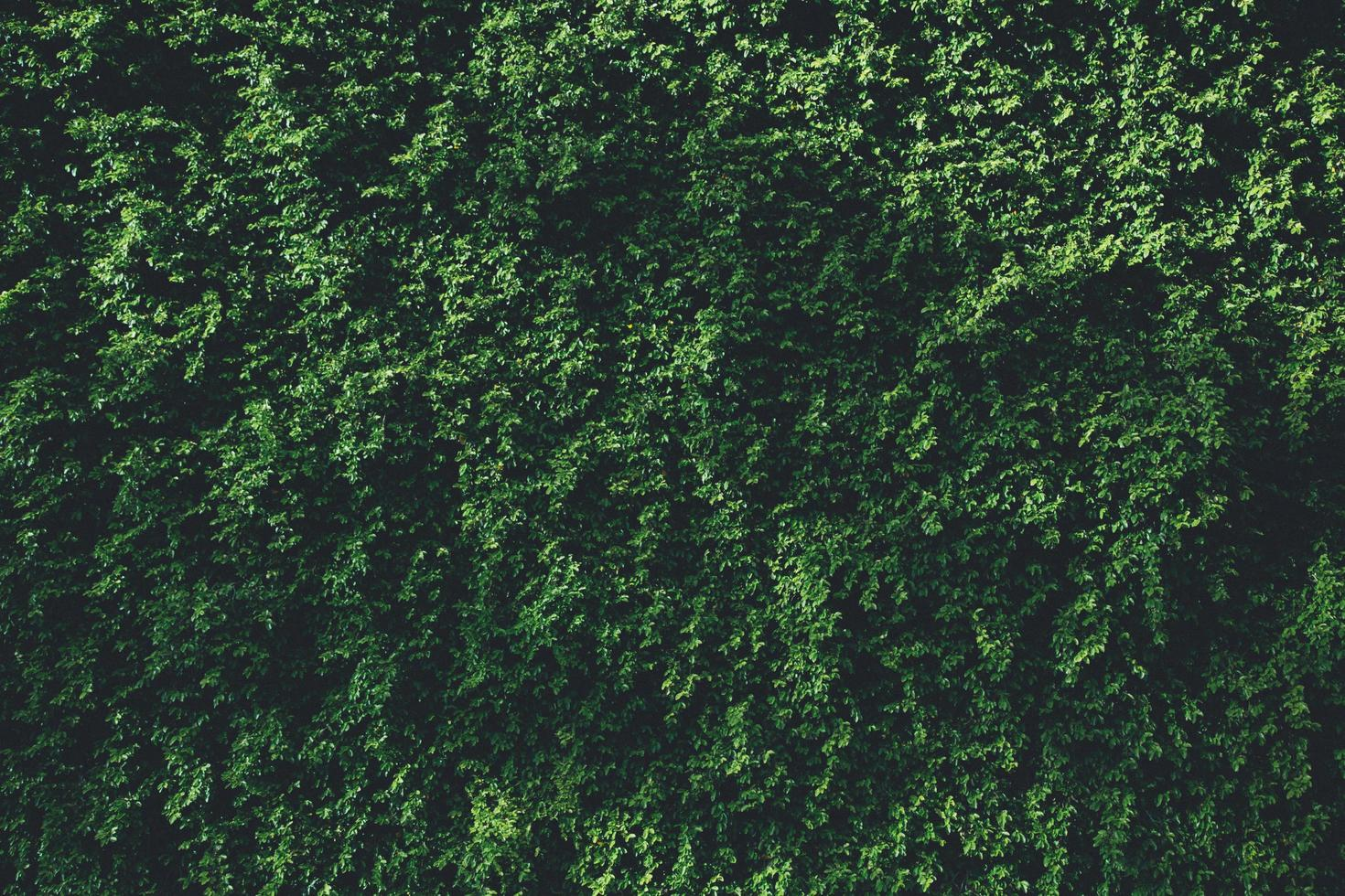 feuilles vertes couvrant un mur photo