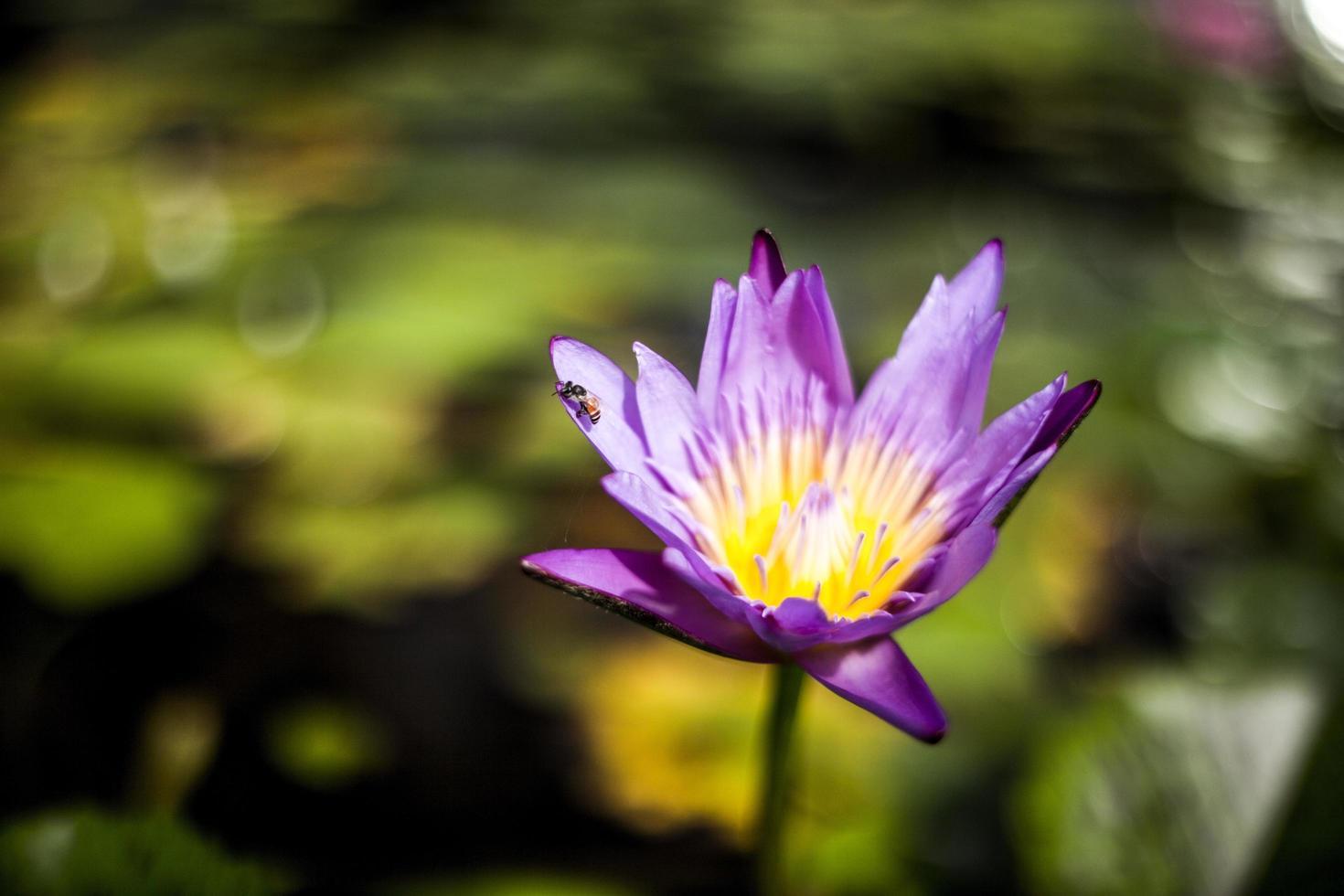 fleur de lotus pourpre photo