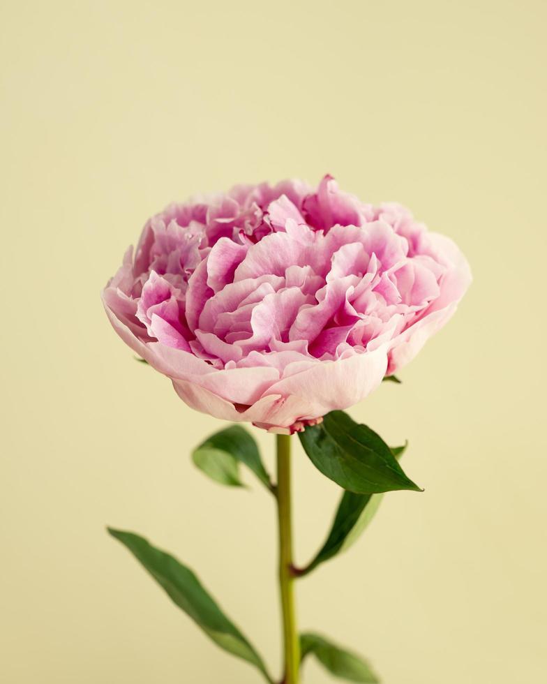 pivoine rose unique photo