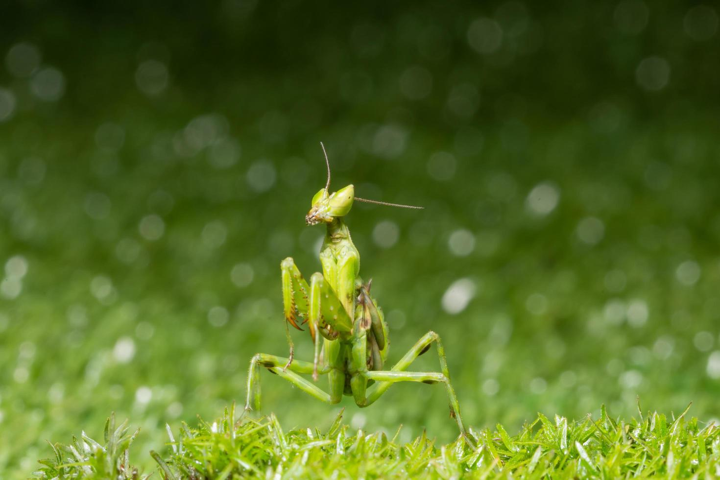 sauterelle dans l'herbe photo