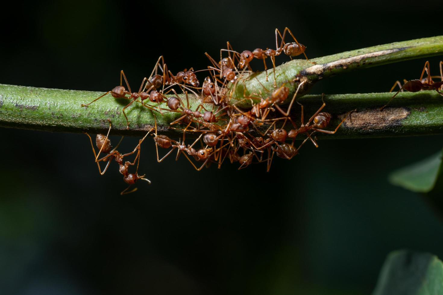 fourmis sur une branche photo