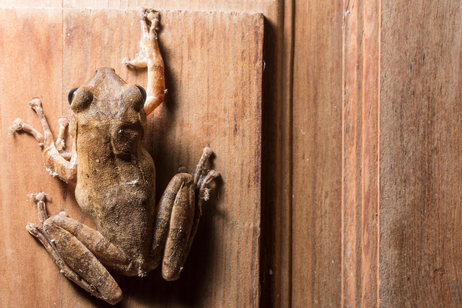 Polypedates leucomystax sur fond de bois photo